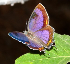 A Colorado Hairstreak, Hypaurotis crysalus, on its hostplant, Gambel Oak, Quercus gambelii