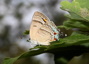 Colorado Hairstreak ventral surface showing eyespots and tails