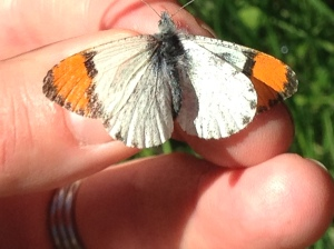 Anthocharis sara, Sara Orangetip.  Photo taken in the Santa Monica Mountains