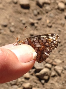 Gabb's Checkerspot, Chlosyne gabbii.  Photo taken in Santa Monica Mountains.  Ignore the chipped thumbnail.