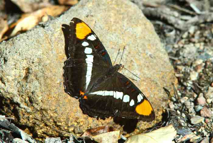 This Arizona Sister, Adelpha eulalia, is distasteful to predators due to toxins in the oak leaves that the caterpillars consume