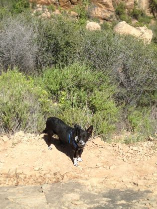 My field assistant, performing olfactory surveys of mammal diversity in sandstone canyons.