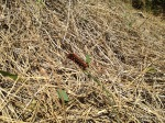Out of focus, but that's a Pipevine Swallowtail caterpillar living where it isn't supposed to...