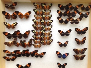 Some of the many diverse mimetic Heliconius phenotypes